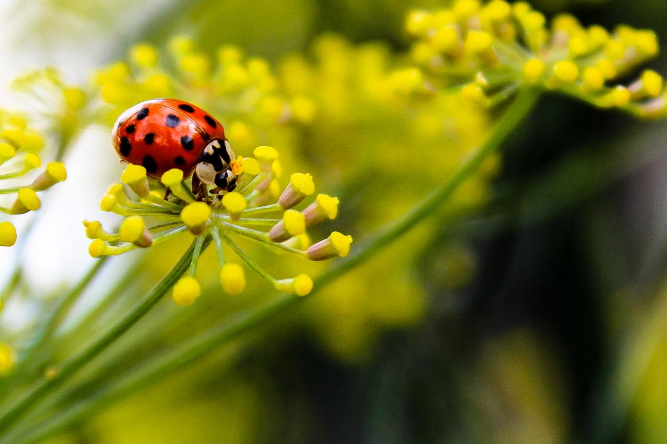 ladybugfennel.jpg