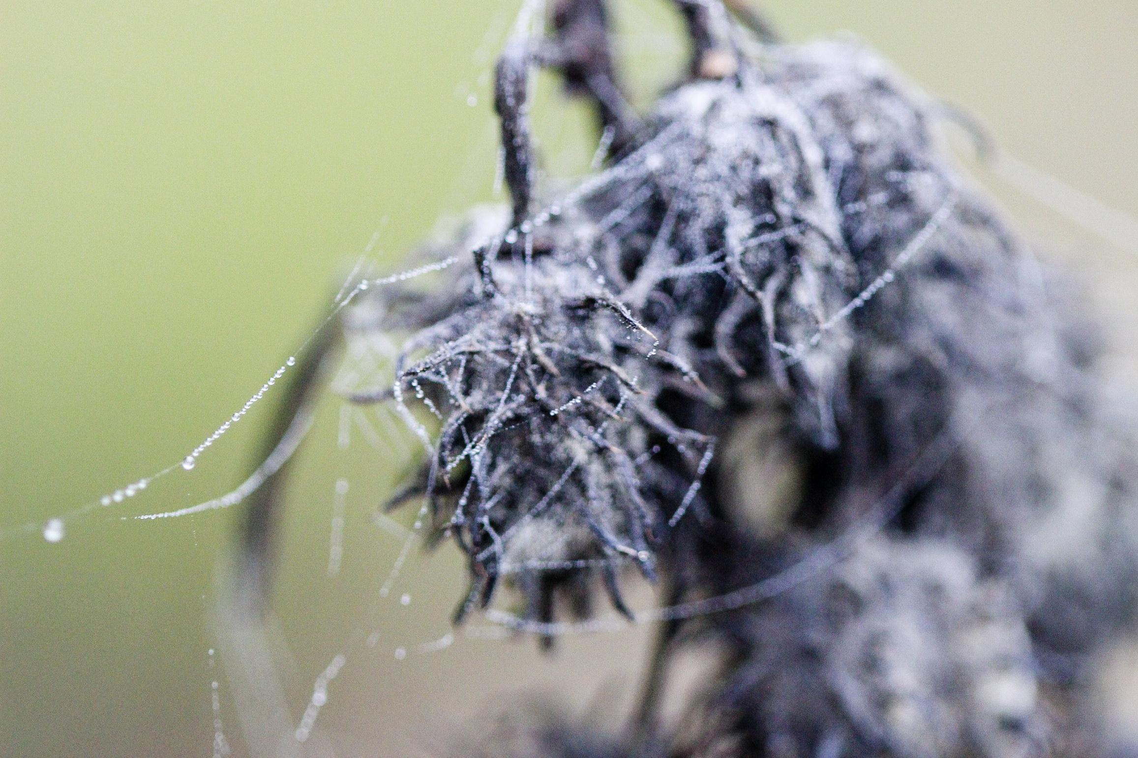 Castor Bean Plant seed head