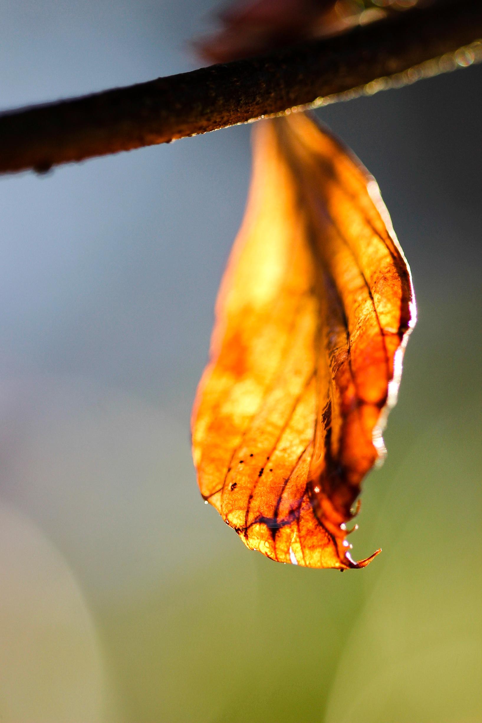 Spike Winterhazel leaf