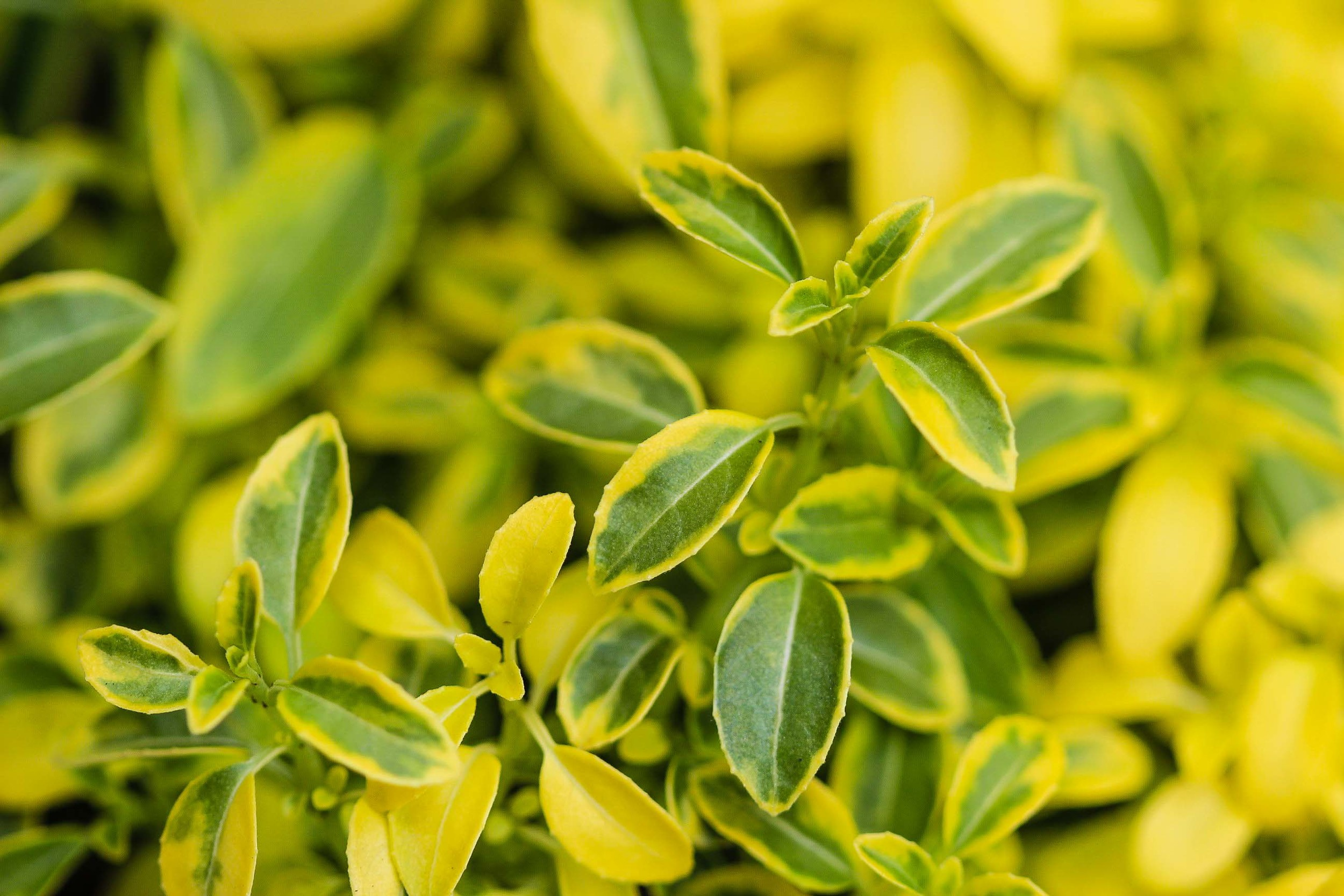 Fuchsia 'Enstone'