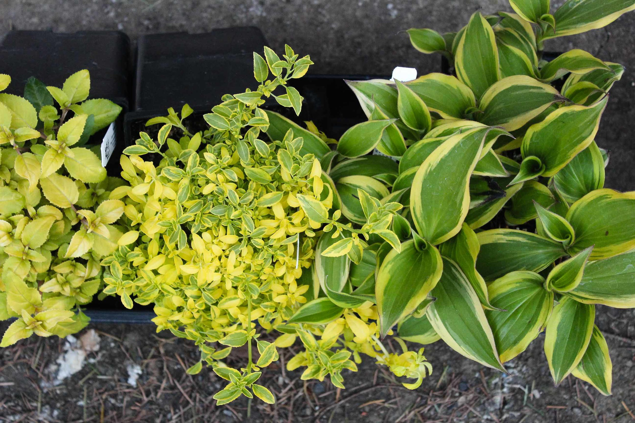 My purchases (left-right)Fuchsia 'Arcadia Lady', Fuchsia Endstone, Tricyrtis formosan a 'Samurai'