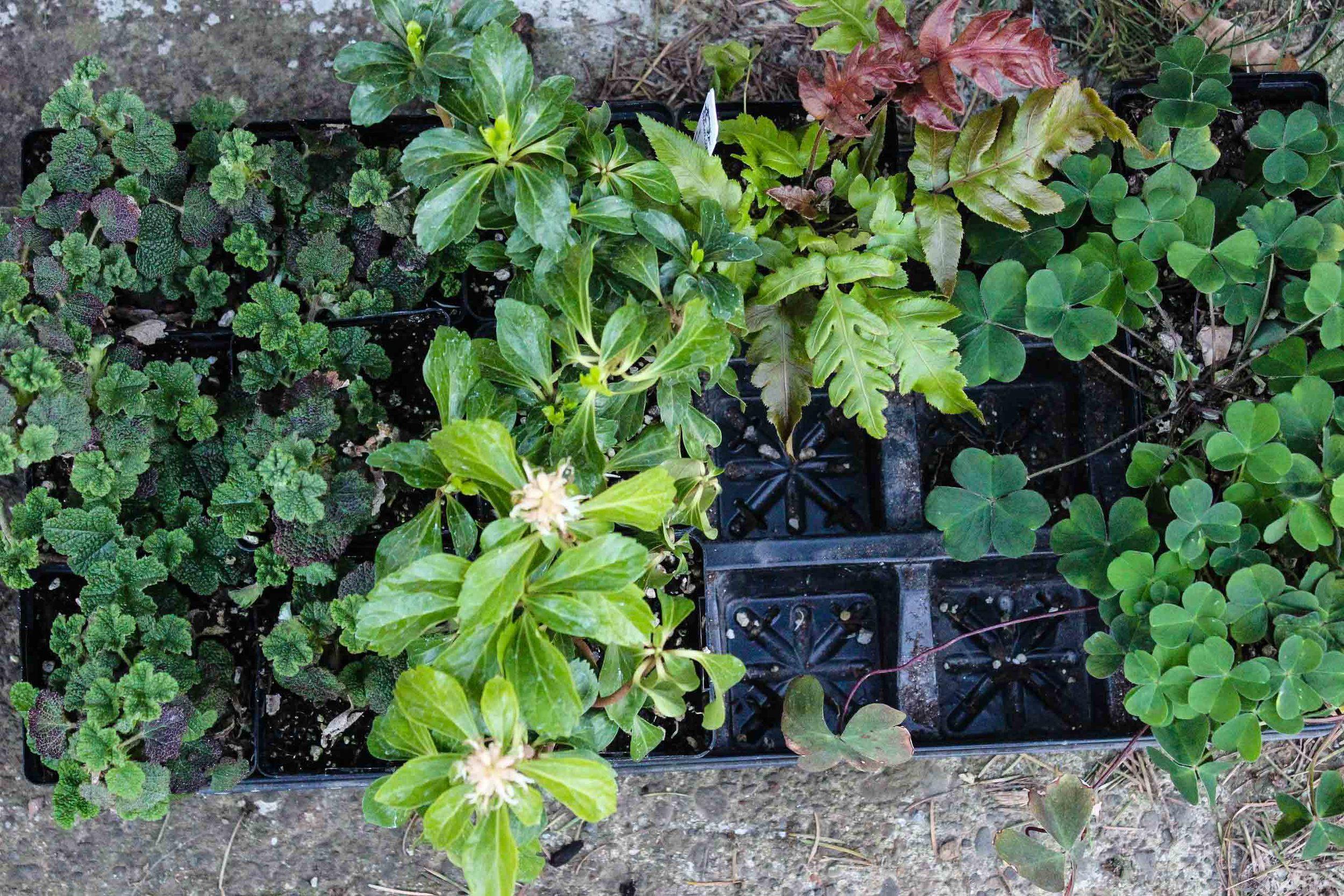 my purchases (left-right)Rubus pentalobus, Pachysandra terminalis, Woodwardia unigemmata, Oxallis oregano