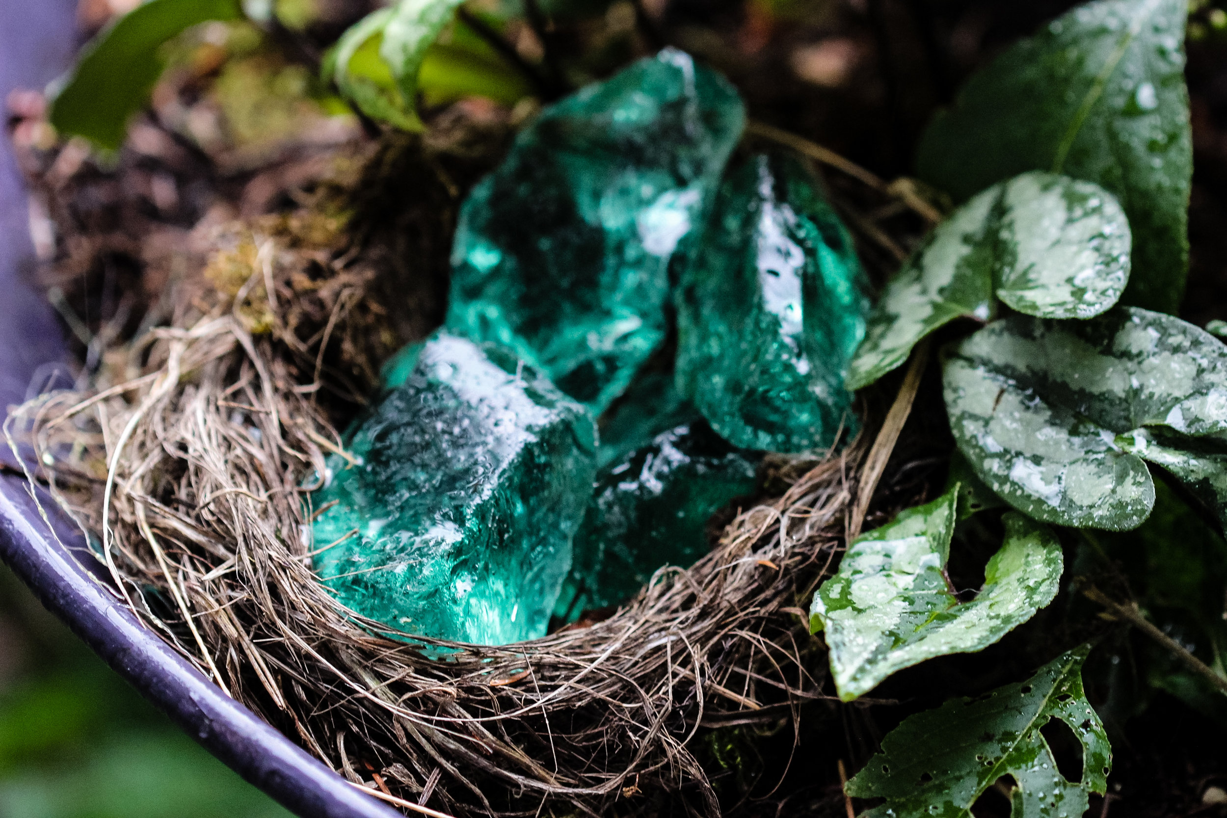 an old bird nest with turquoise glass chunks with Asarum splendens in my light fixture container
