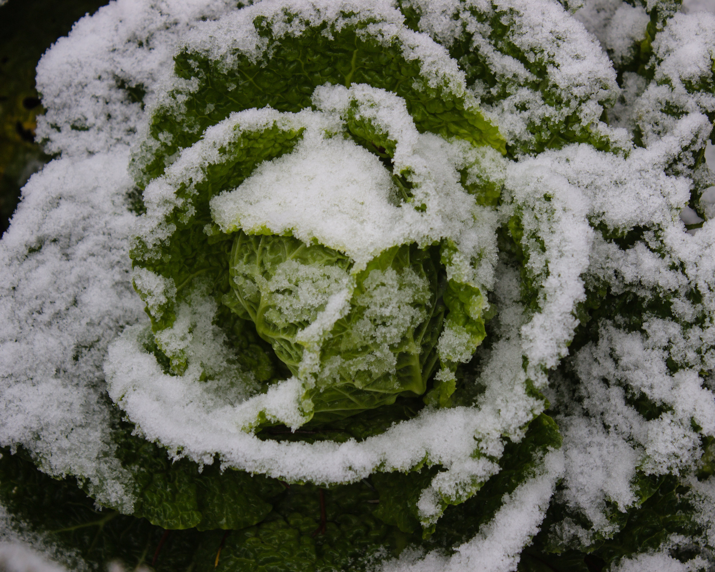 Savoy cabbage in snow