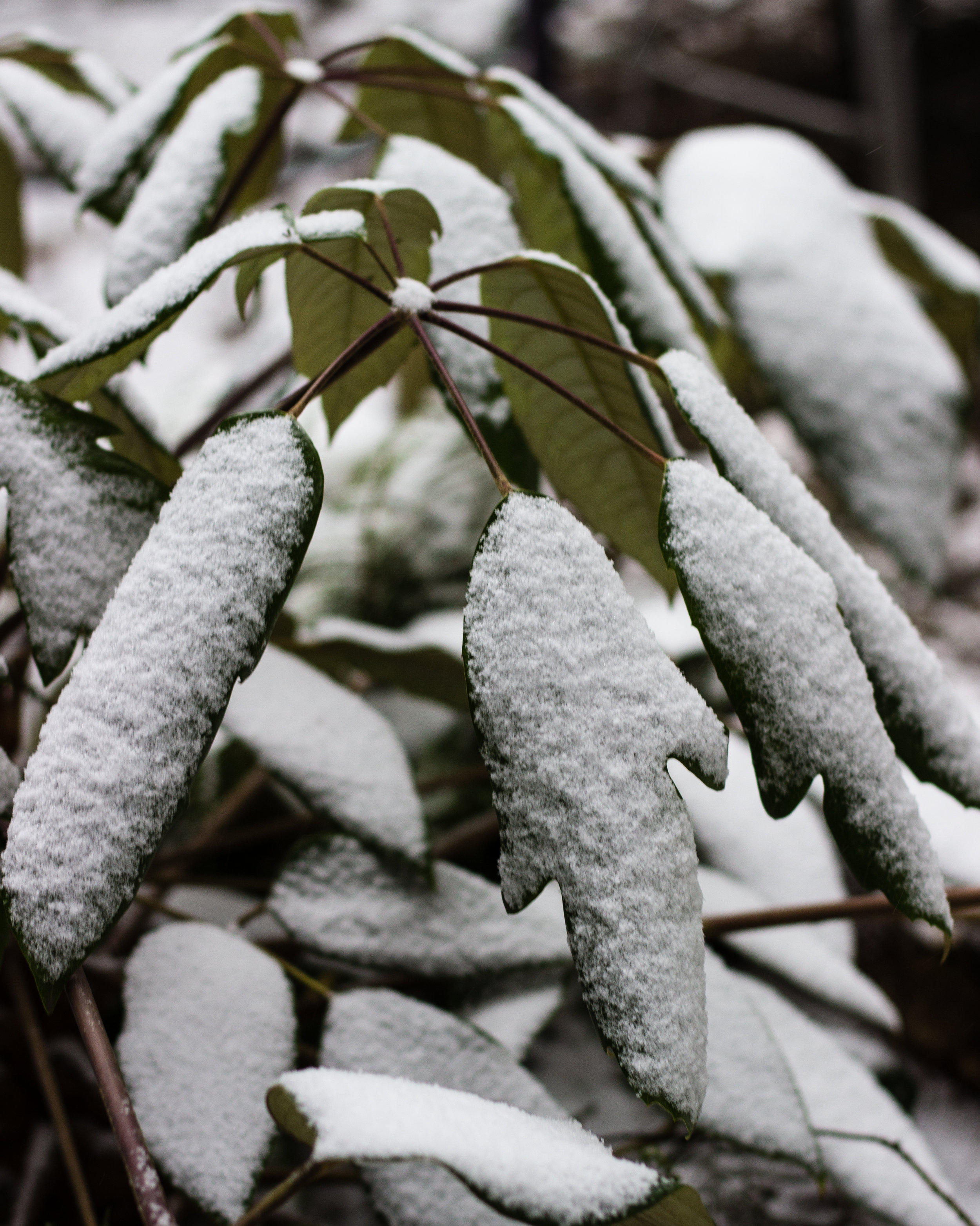 Schefflera Delavayi sporting some snow