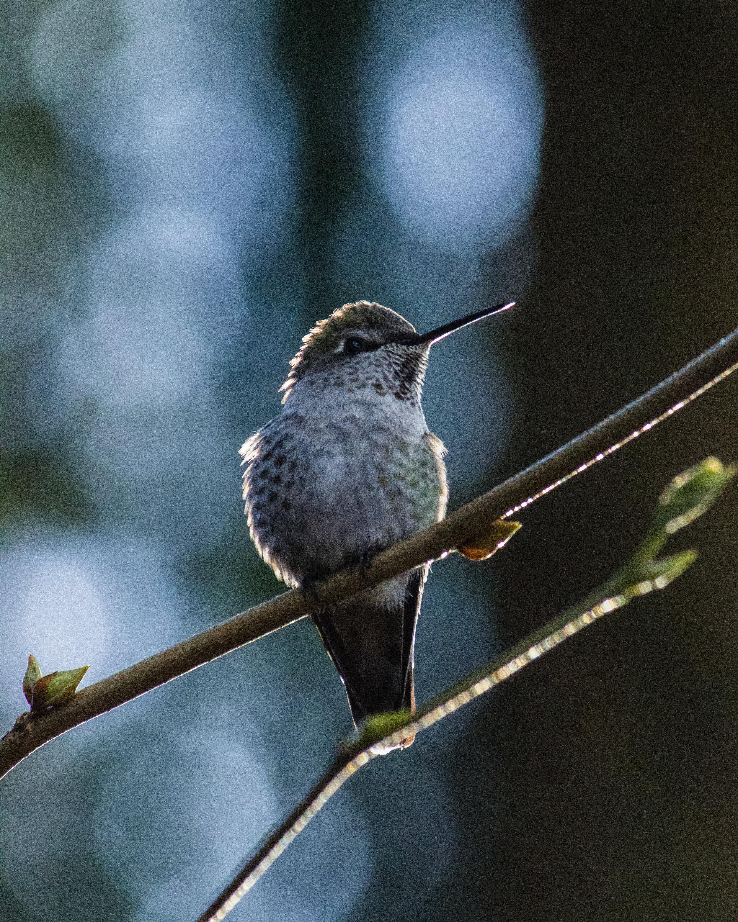 hummingbirdportrait.jpg