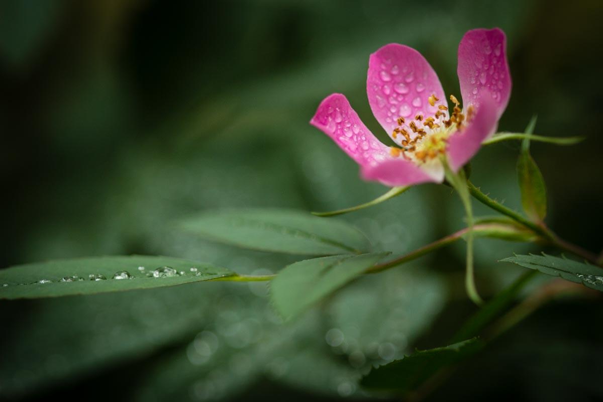 rosaglaucadroplets.jpg
