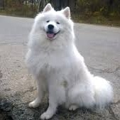 One very good Samoyed