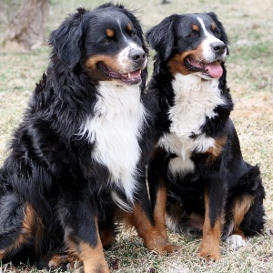 Two very good Bernese mountain dogs