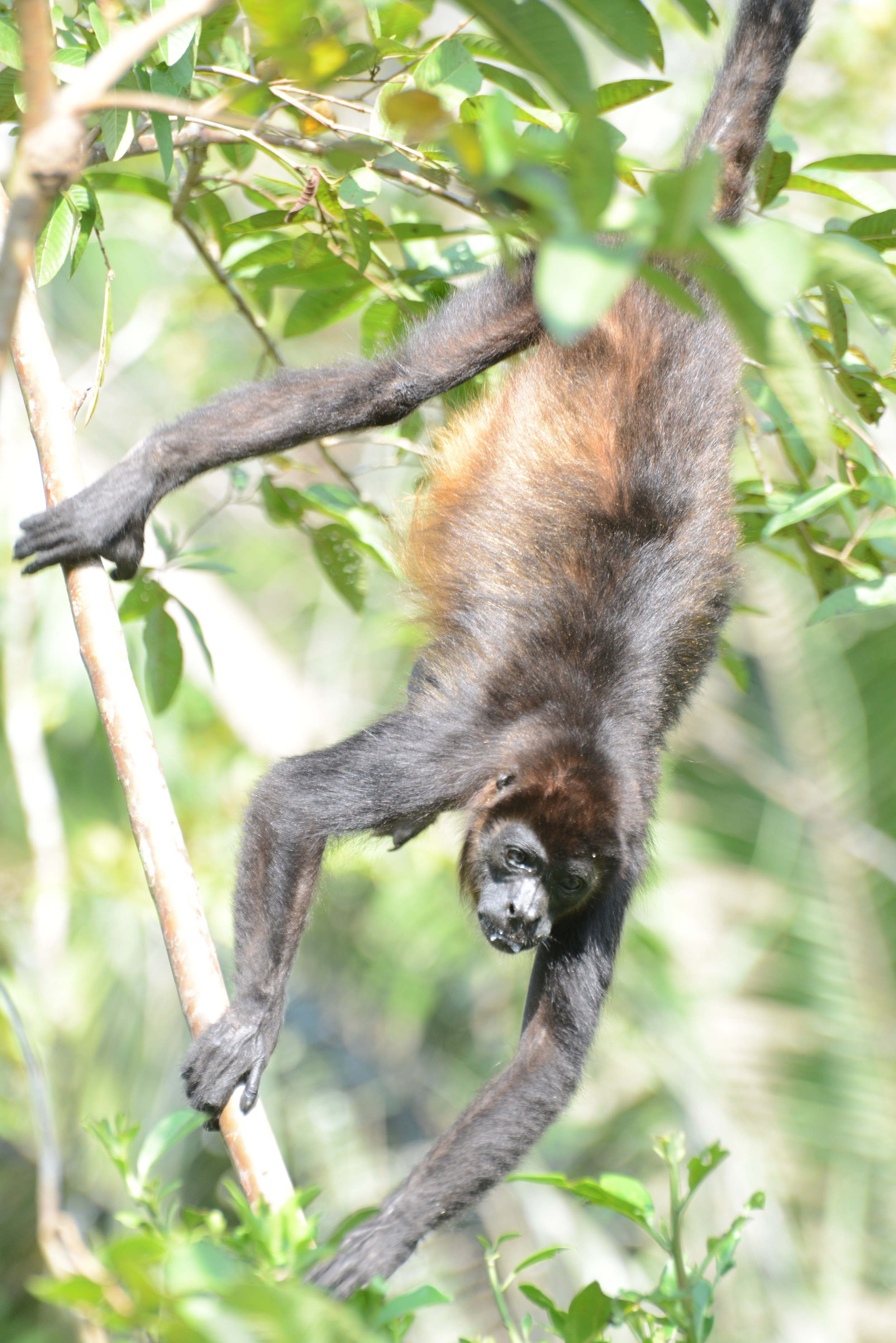 howler monkey dangling from a tree - as seen from our toilette