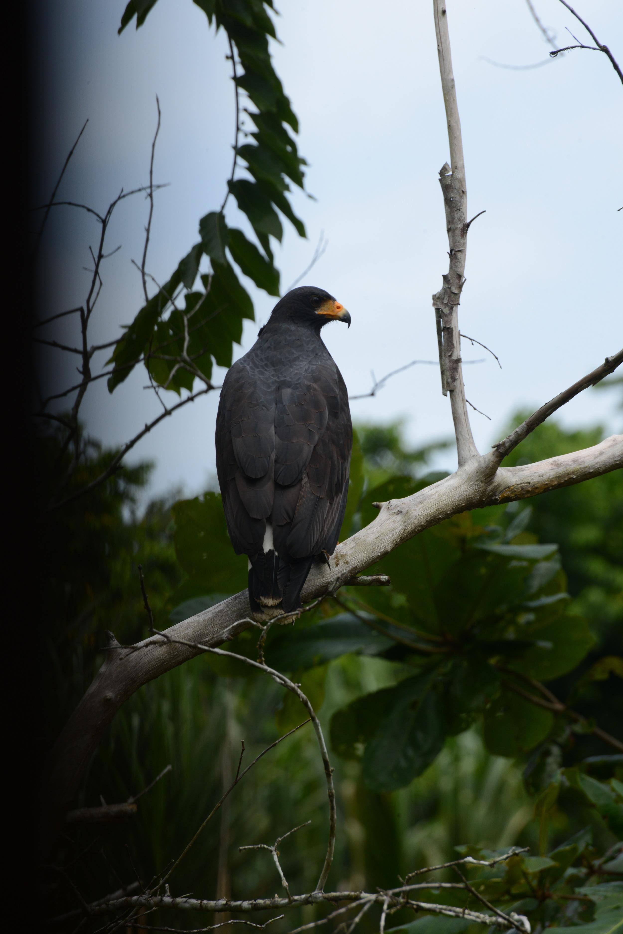 costa rican sparrows - not!