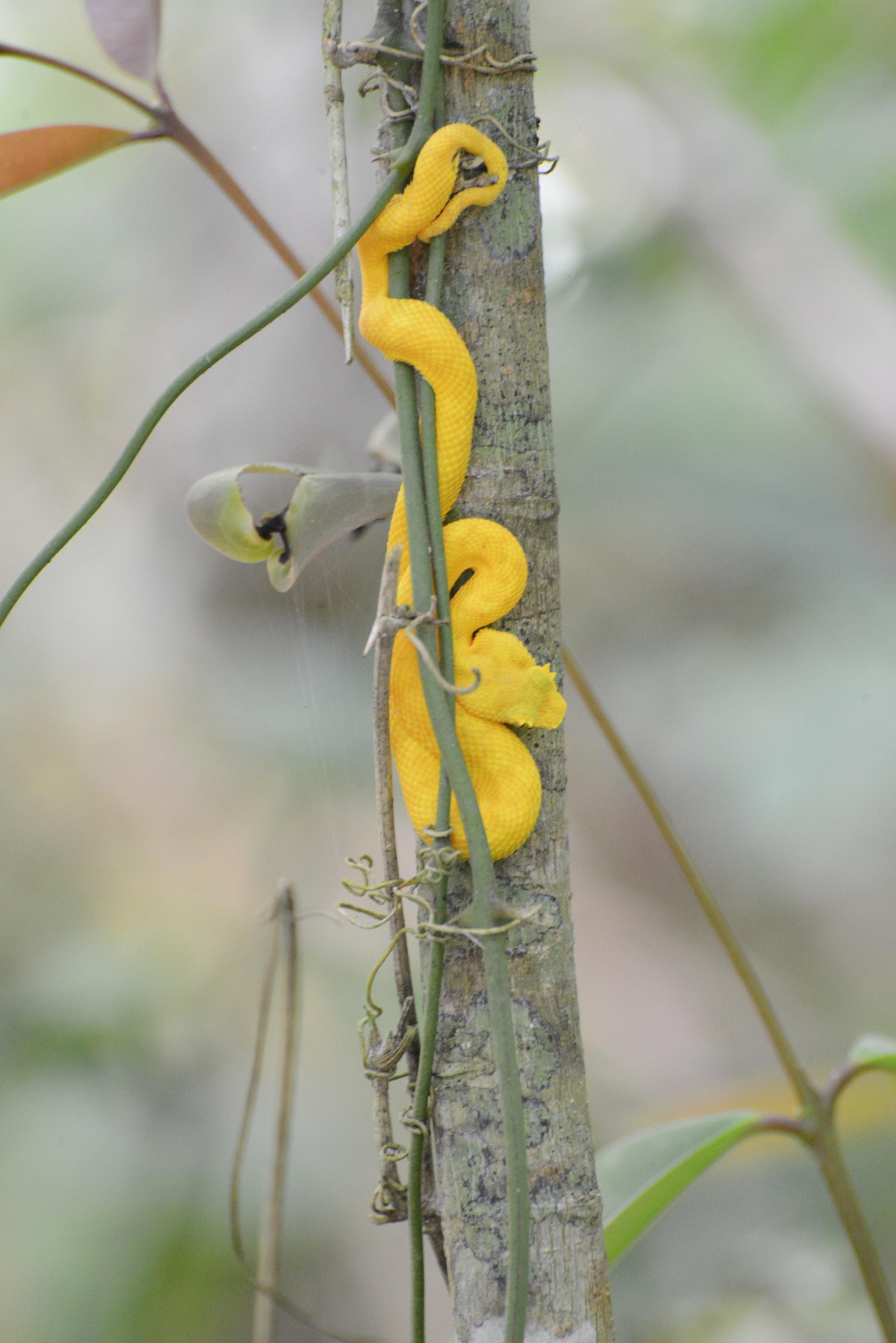 eyelash pitviper on a branch