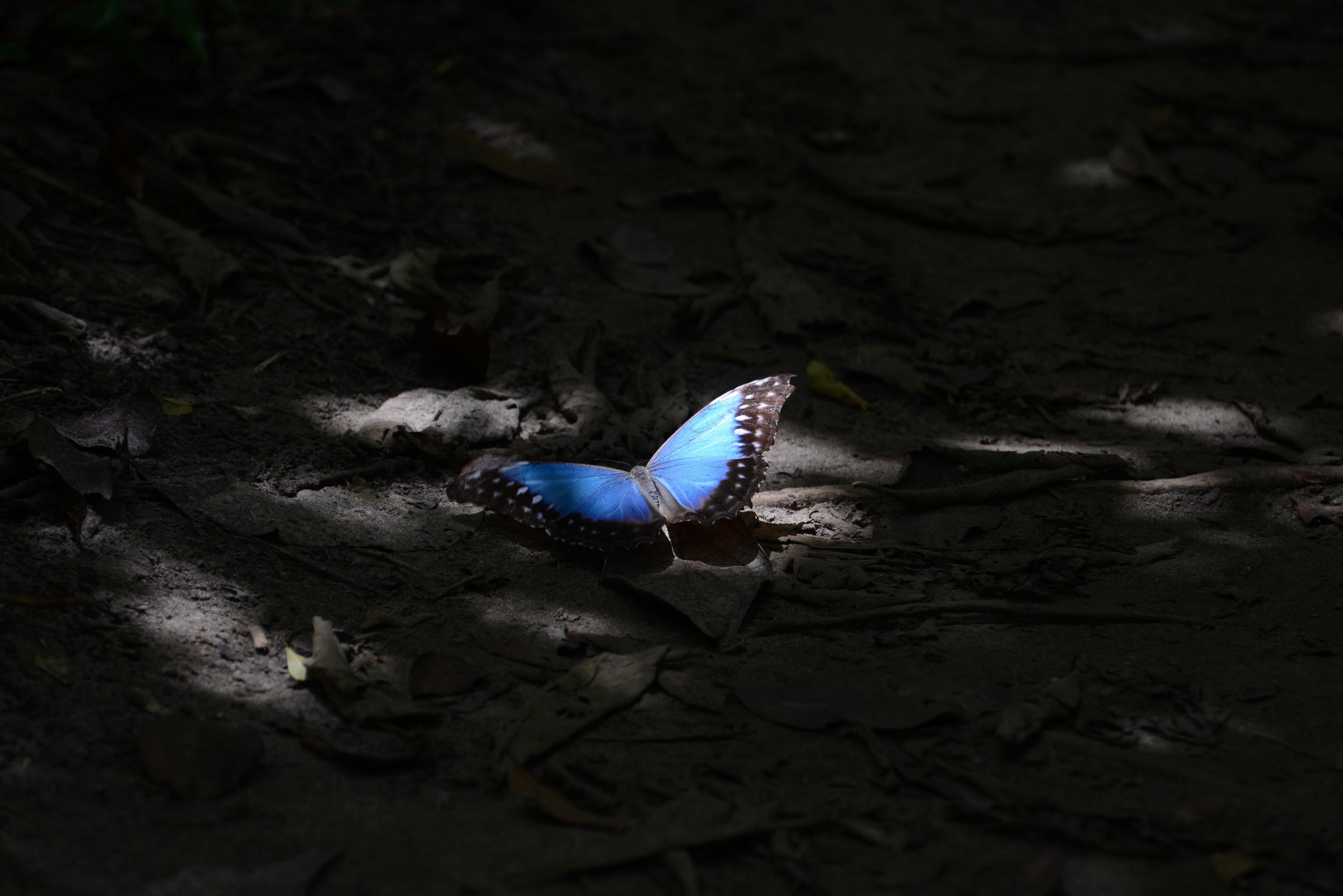 blue morpho captured in the jungle