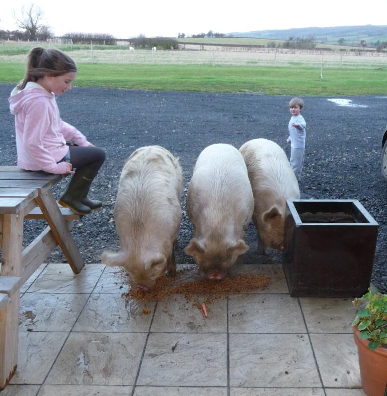 pigs at the door.jpg