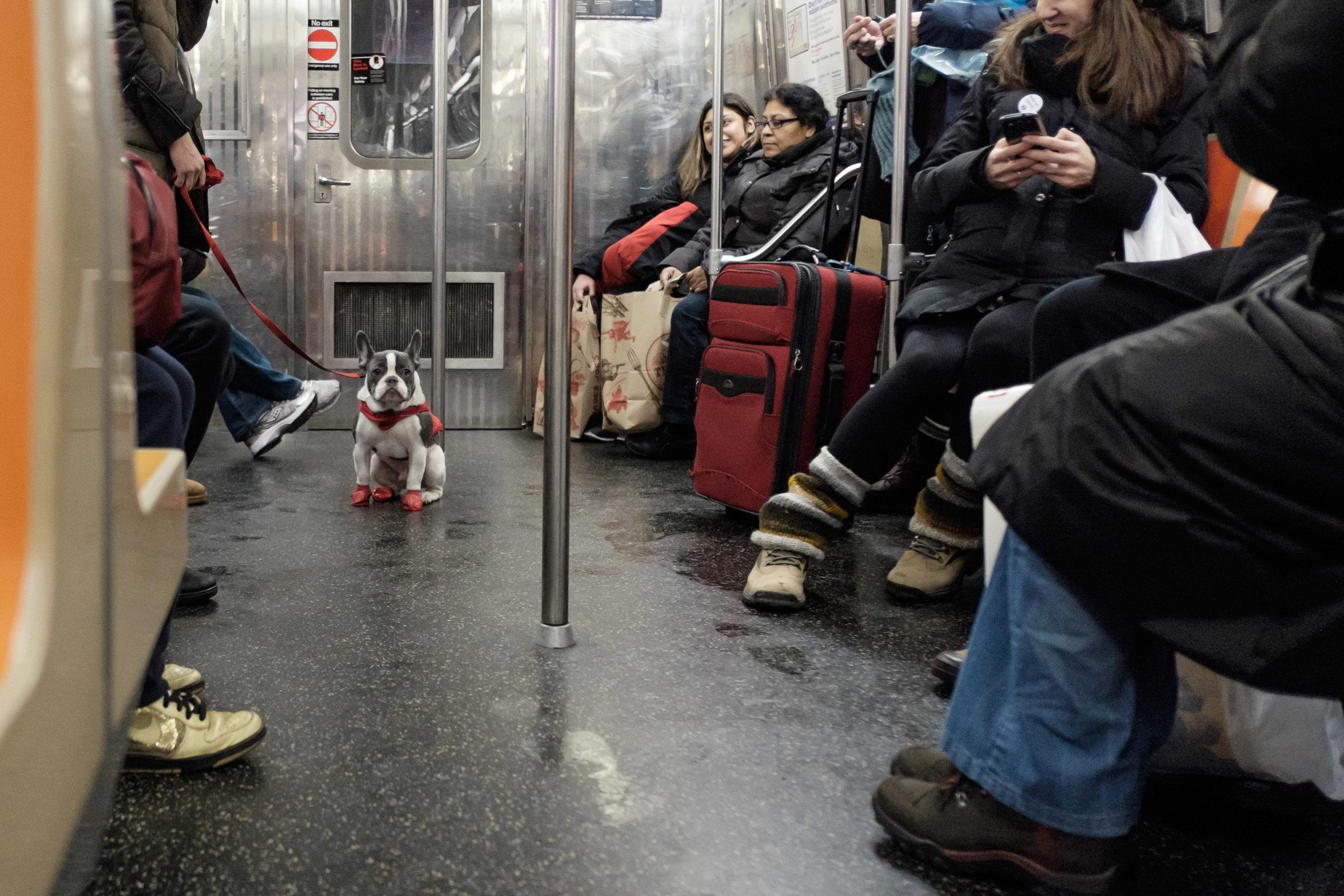 SubwayFrenchie.jpg