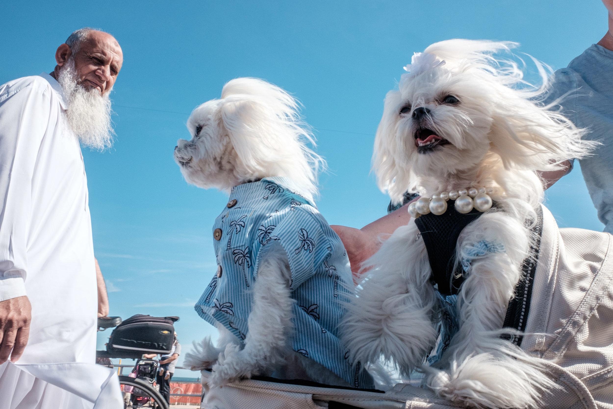 whitebearddogs.jpg