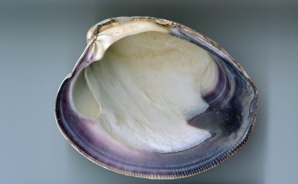 The Quahog Shell
