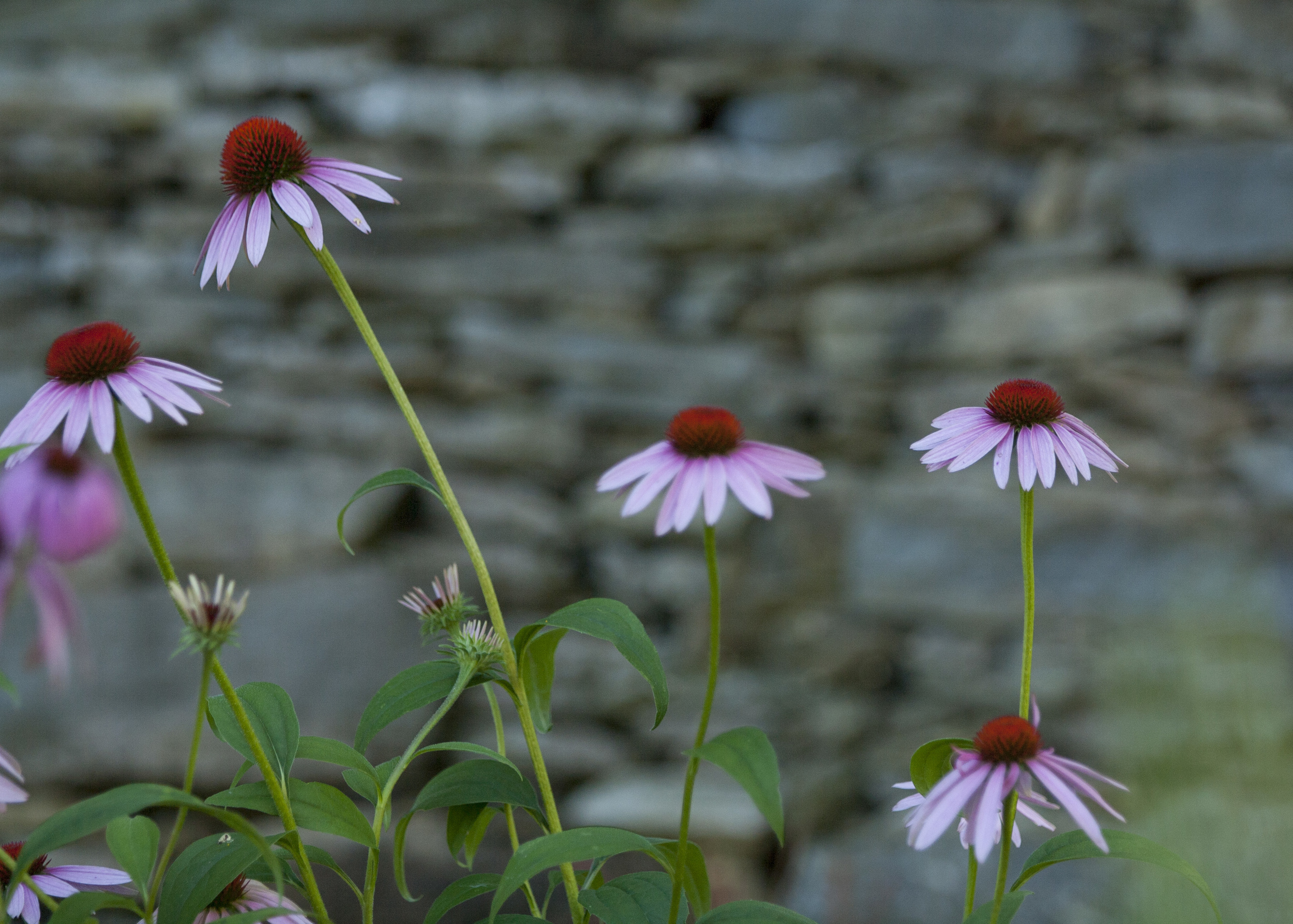 Landscape Design | Terrace Gardens Echinacea Coneflower | Dry Lay Stone | Waterfront Dream Home | Riverview Design Solutions | Prescott, Ontario, Canada