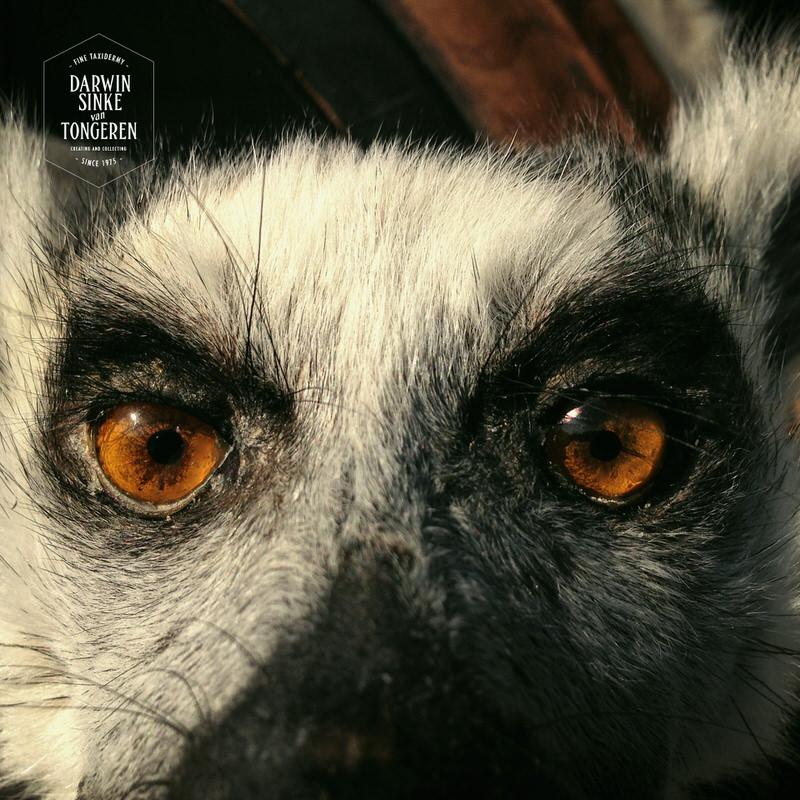 Lemur-Catta-DSVT_6.jpg