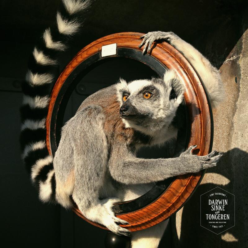 Lemur-Catta-DSVT_9.jpg