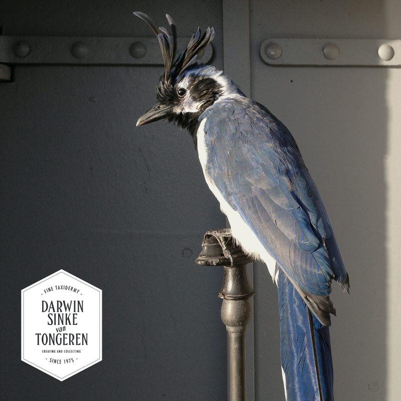 Black-throated-Magpie-Jay-DSVT-5.jpg