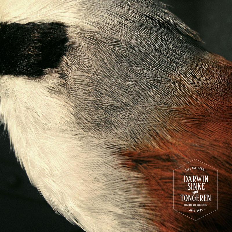 White-crested-Laughingthrush_8.jpg