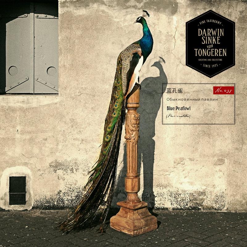 Peacock-DSVT_10.jpg