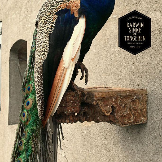 Detail-Peacock-2.jpg