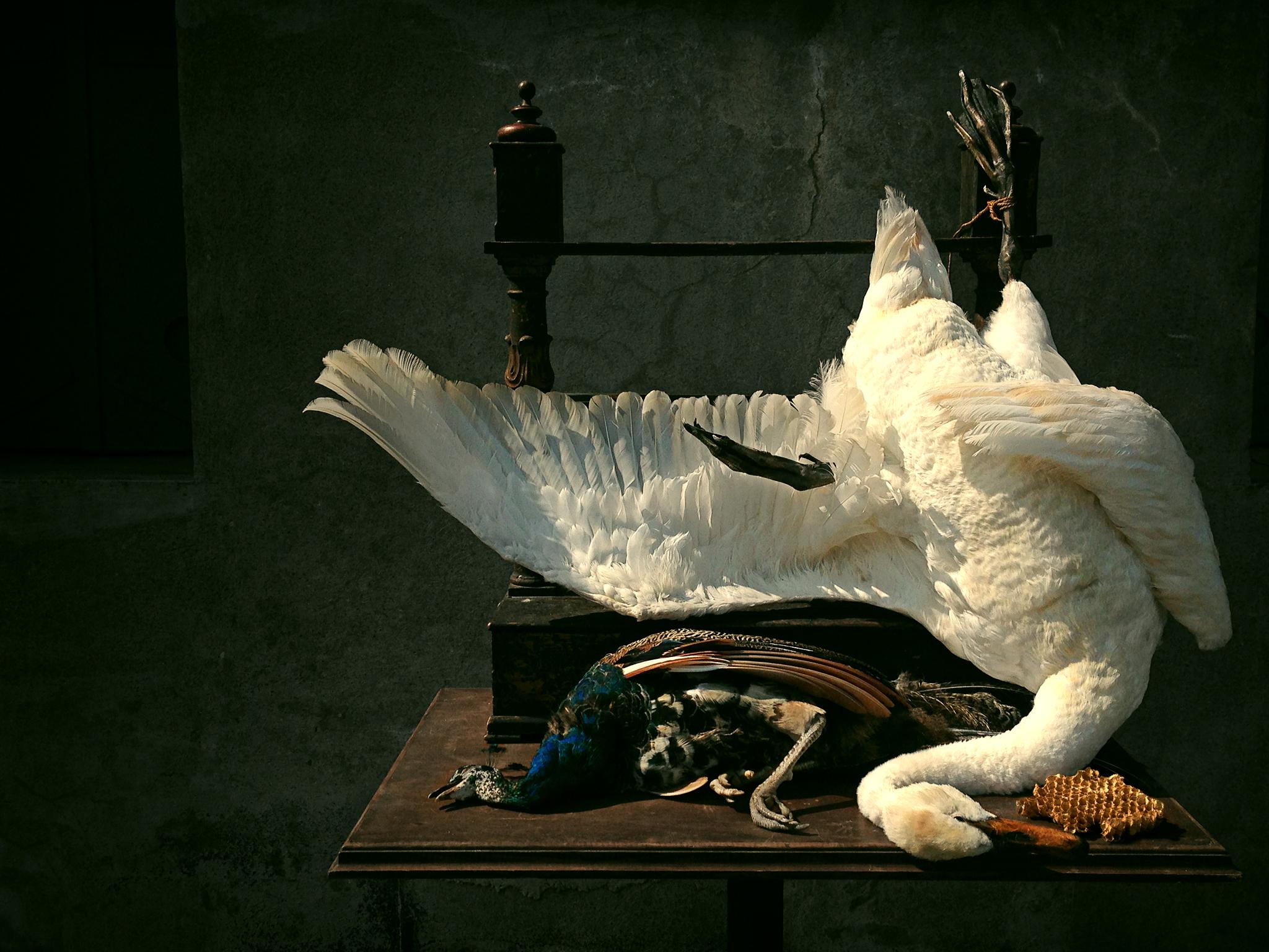 DSvT-Weenix-Swan.jpg