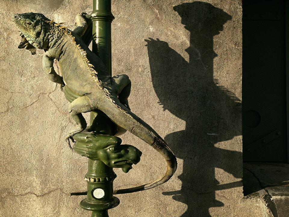DSvT-Iguana.jpg