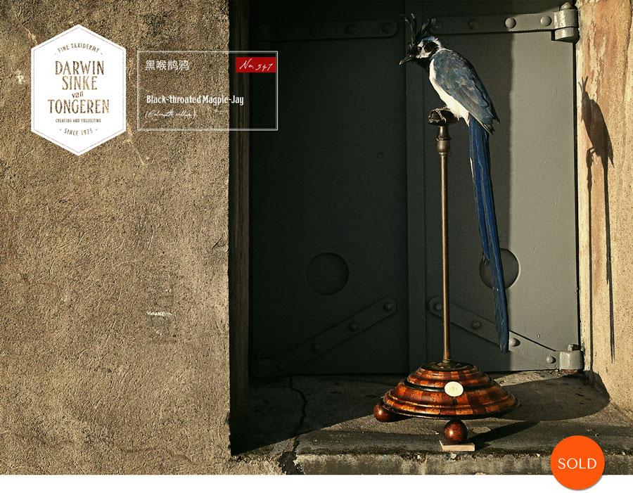 Black-throated Magpie-Jay.jpg