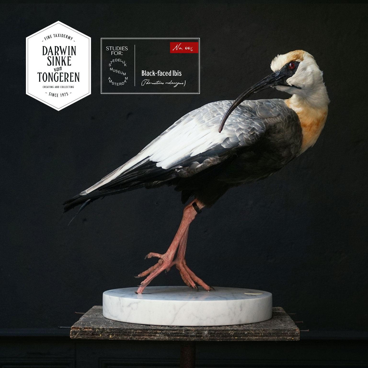 DSvT-Stedelijk-Study-Black-faced-Ibis.jpg