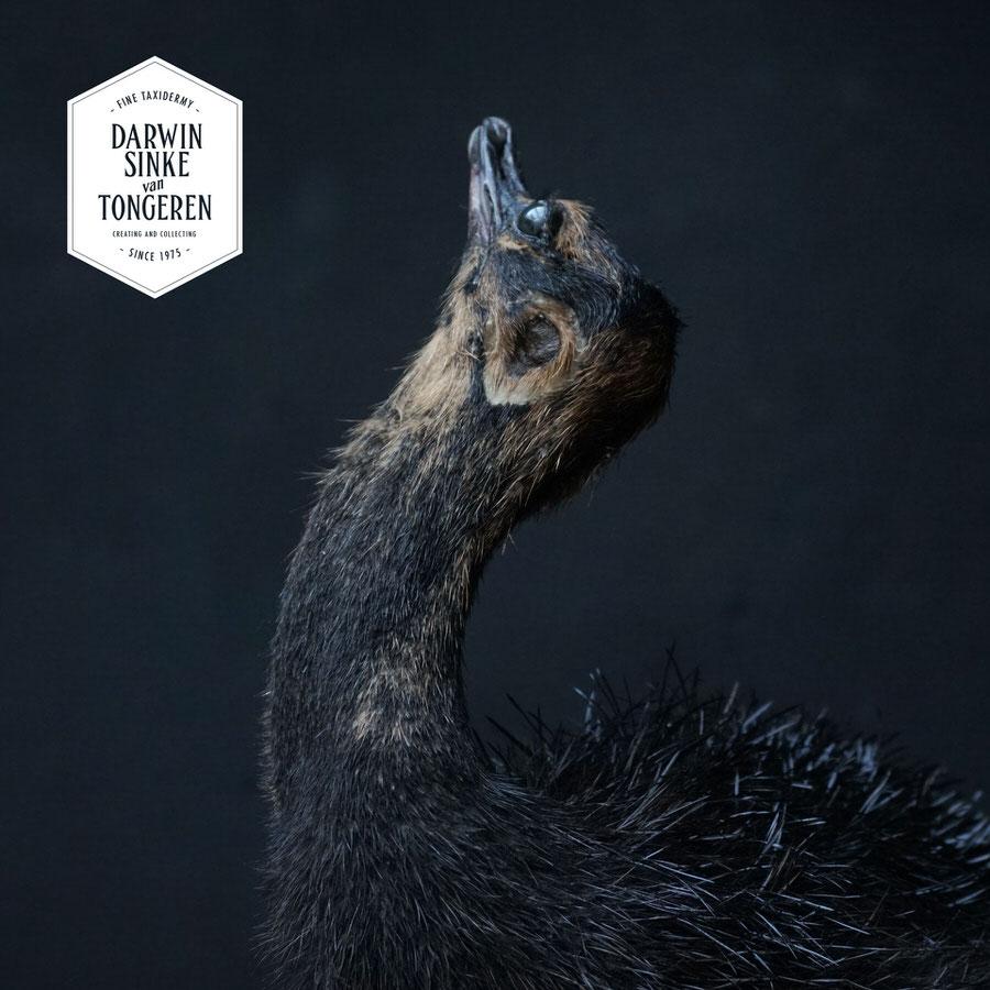 DSvT-Study-Black-Ostrich-08.jpg