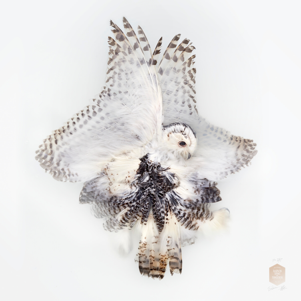 DSvT-Unknown Pose by Snowy Owl.jpg