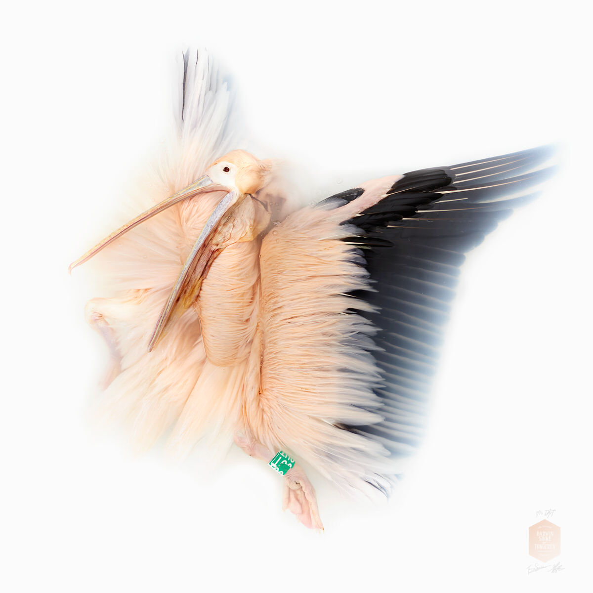DSvT-Unknown Pose by Great White Pelican.jpg