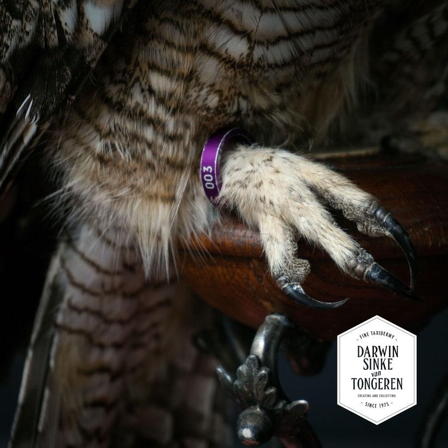 DSvT-Spotted-Eagle-Owl-06.jpg