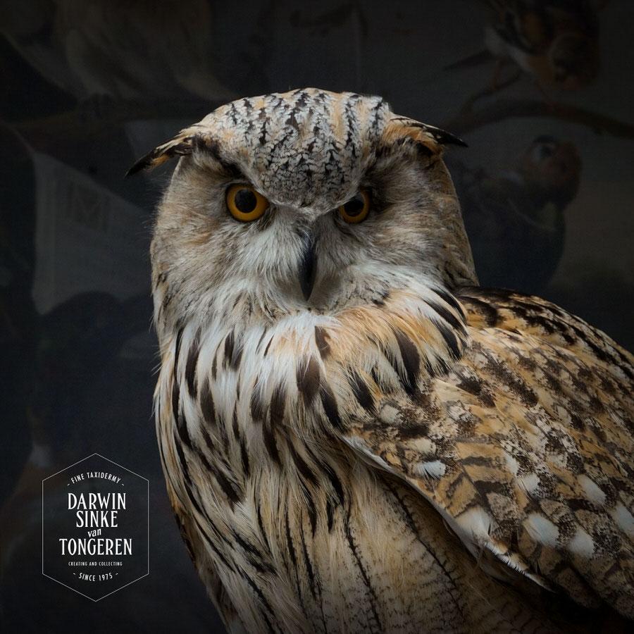 DSvT-Syberian-Eagle-Owl-06.jpg