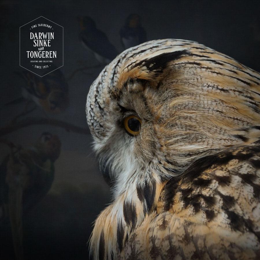 DSvT-Syberian-Eagle-Owl-13.jpg