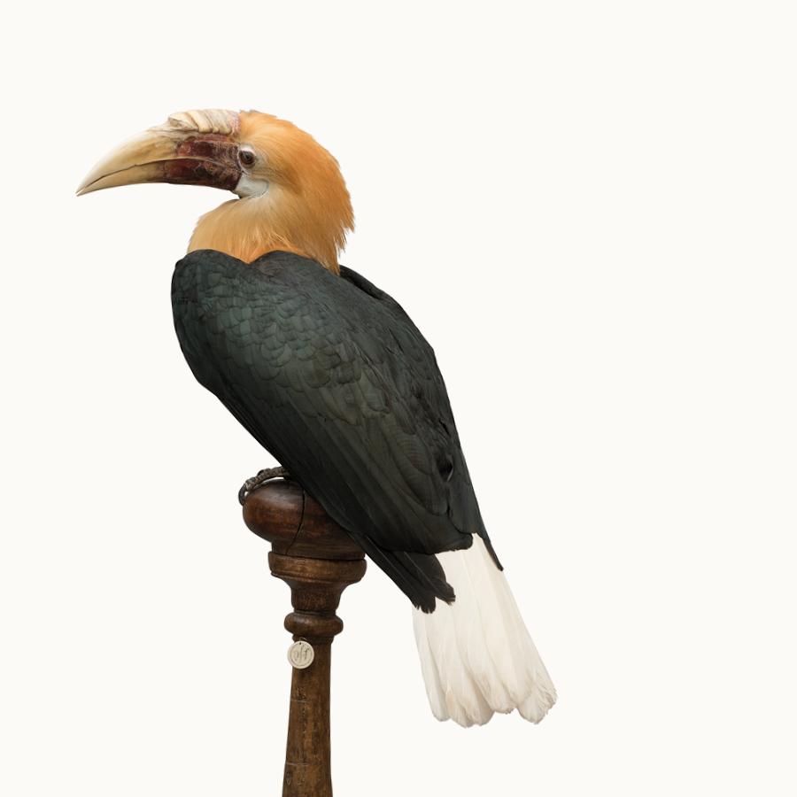 MOA-Wreathed-Hornbill.jpg