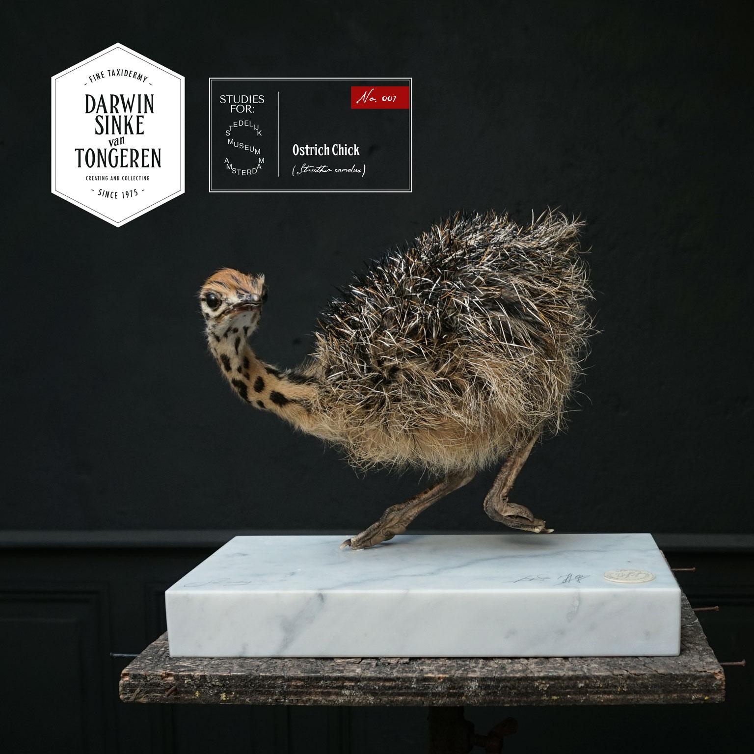 DSvT-Study-Ostrich-01.jpg