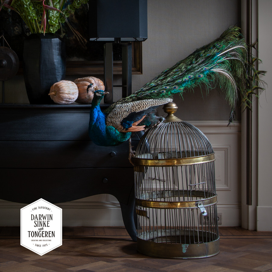 DSvT-Peafowl on Cage.jpg