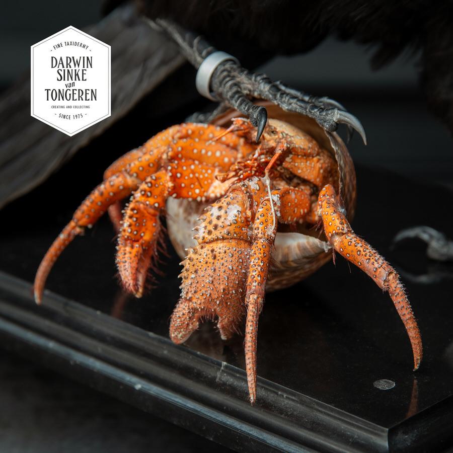 DSvT-Raven-Hermit-Crab-04_900px.jpg