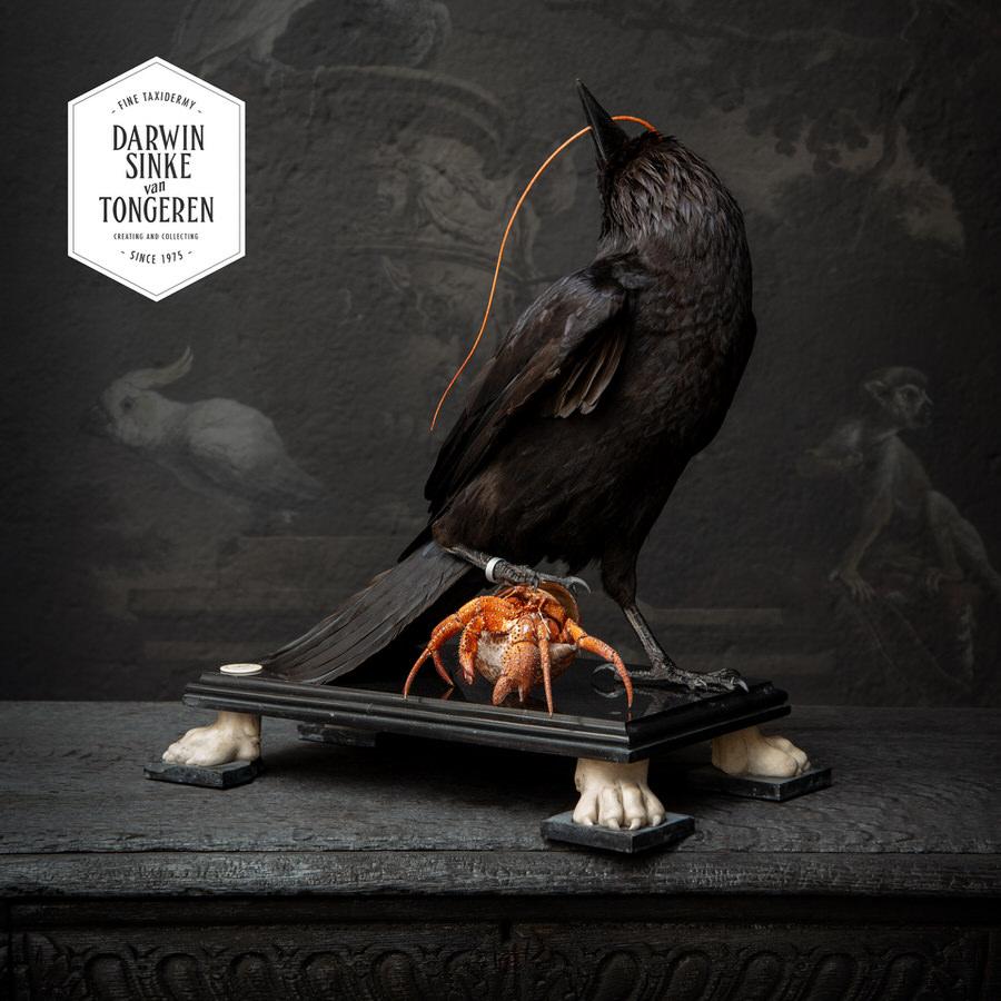 DSvT-Raven-Hermit-Crab-07_900px.jpg