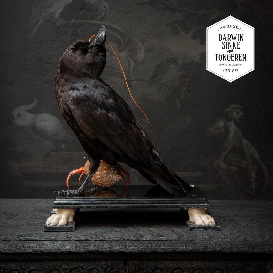DSvT-Raven-Hermit-Crab-08_900px.jpg