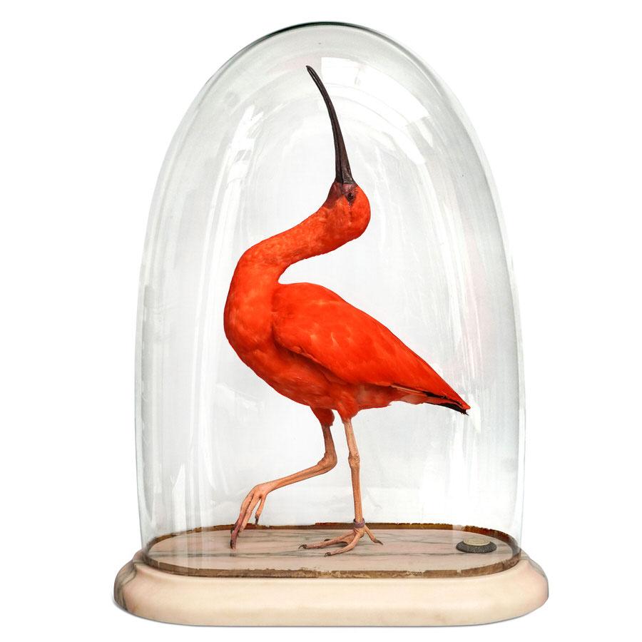 DSvT-Scarlet-Ibis-CLIP.jpg