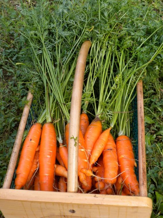 carrots_med.jpeg