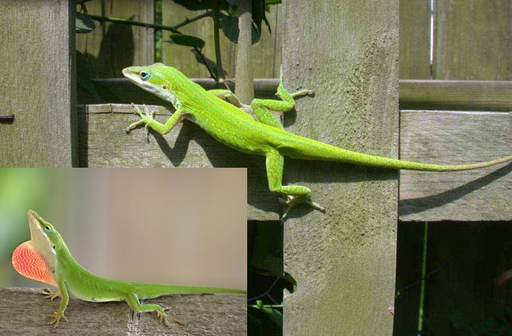 Click for Larger Image. The green or 'Carolina' anole. Only the male of the species engage in throat puffing; a physical display generally used to attract females and for demonstrating territorial dominance. Photos: GCMGA, Inc. and AmericanScientific.com.