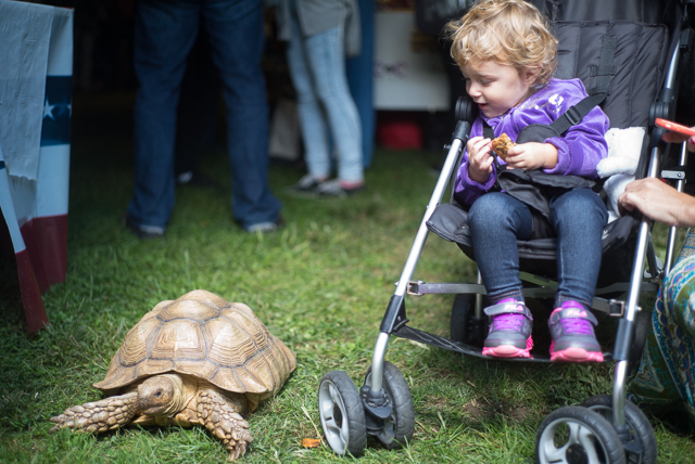 1-year-old Isabella Stahal of Bayside, with cookie, looks down at a wandering tortise at the Queens County Fair.