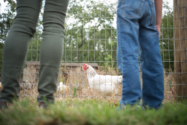 Parents and children watch chickens at the Queens County Fair.