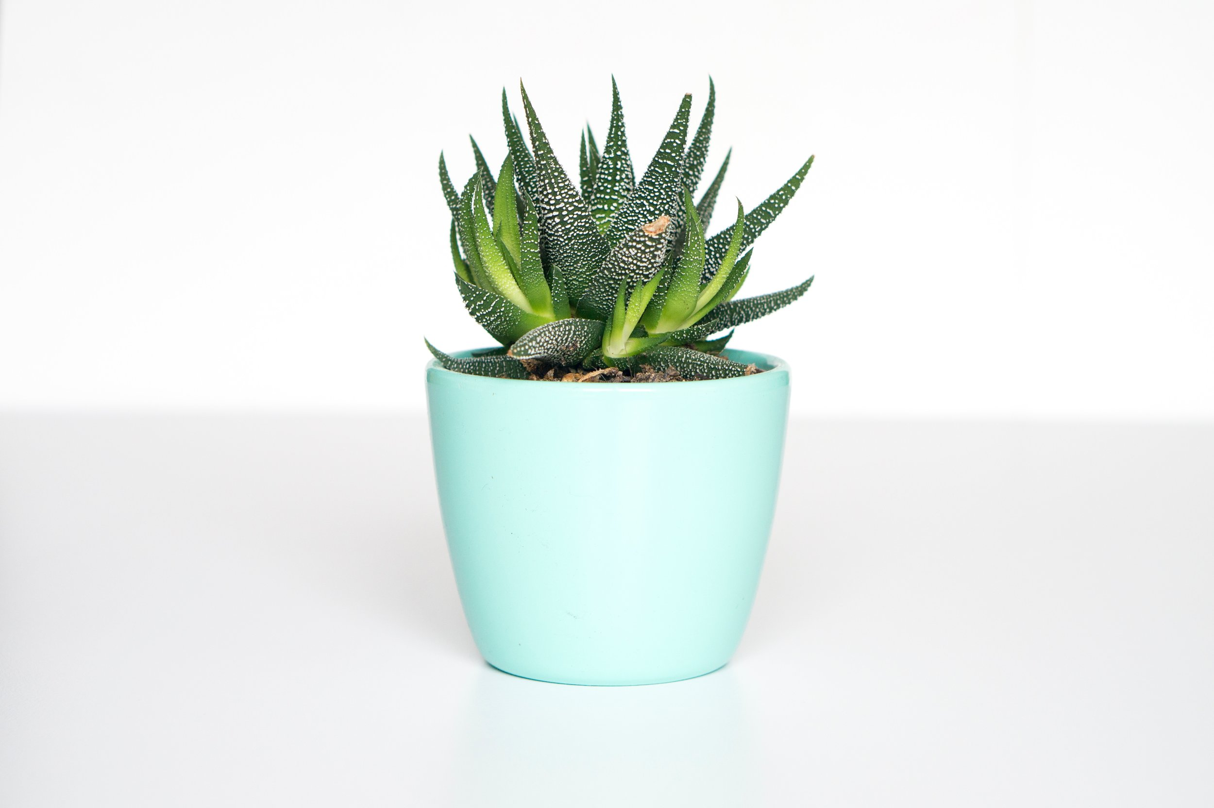 Potted Succulent .jpg